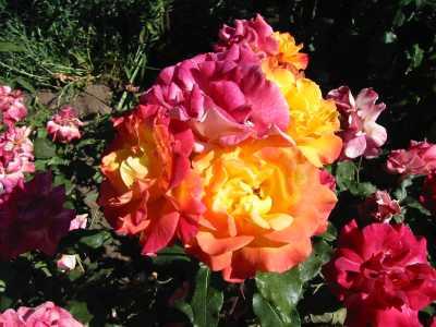 A picture named rose_Garden_4.jpg