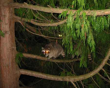 A picture named Raccoon Invasion 1.jpg