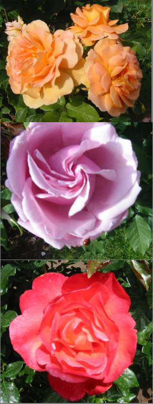 A picture named RoseGarden1.jpg
